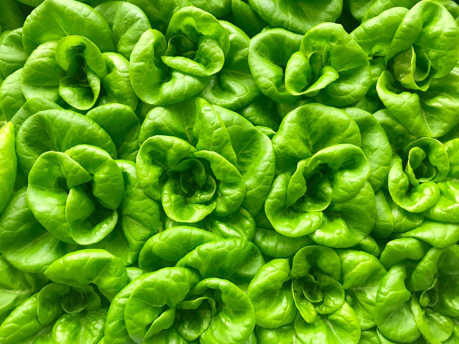 Why Conventional Lettuce Can Take Up To Two Weeks Longer Than Bowery From Seed To Store3