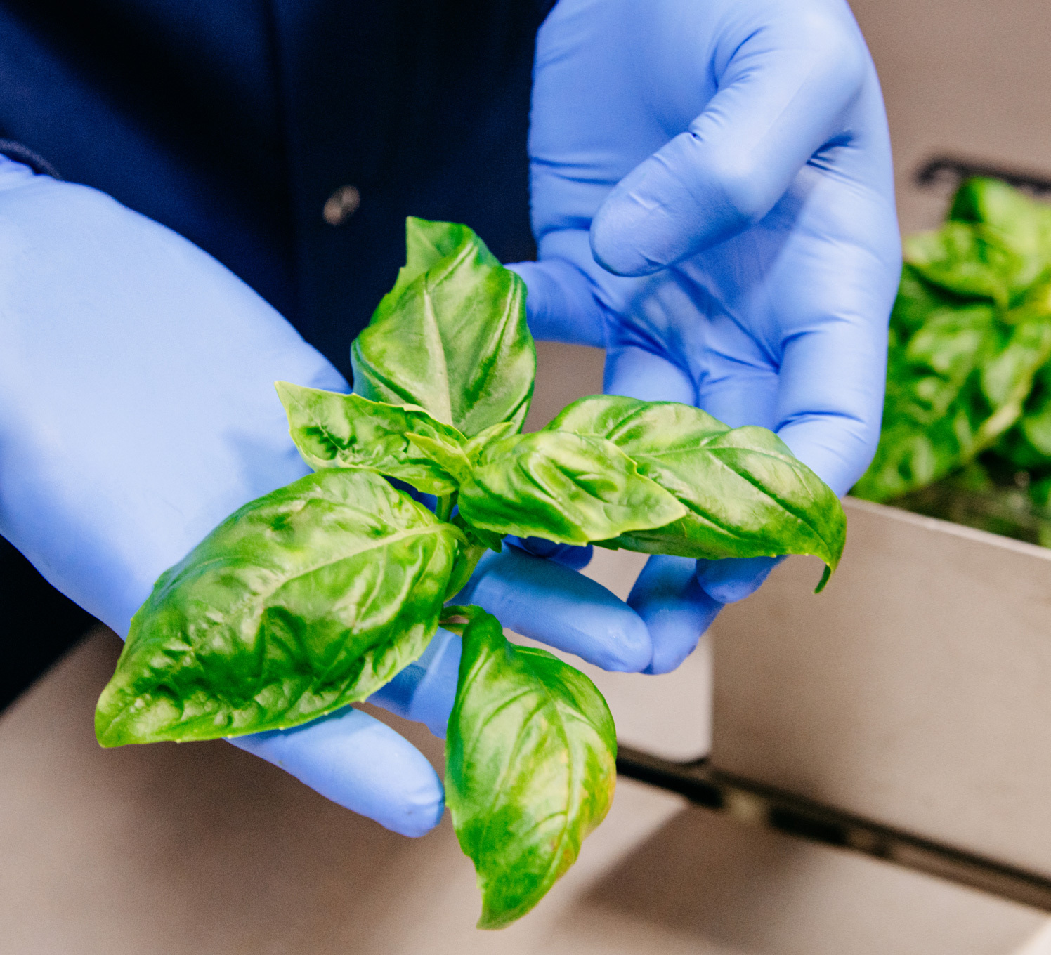 Bowery Basil in Gloved Hand
